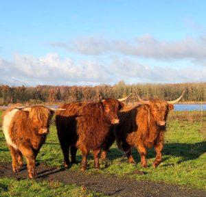 runderen in Oostzaan