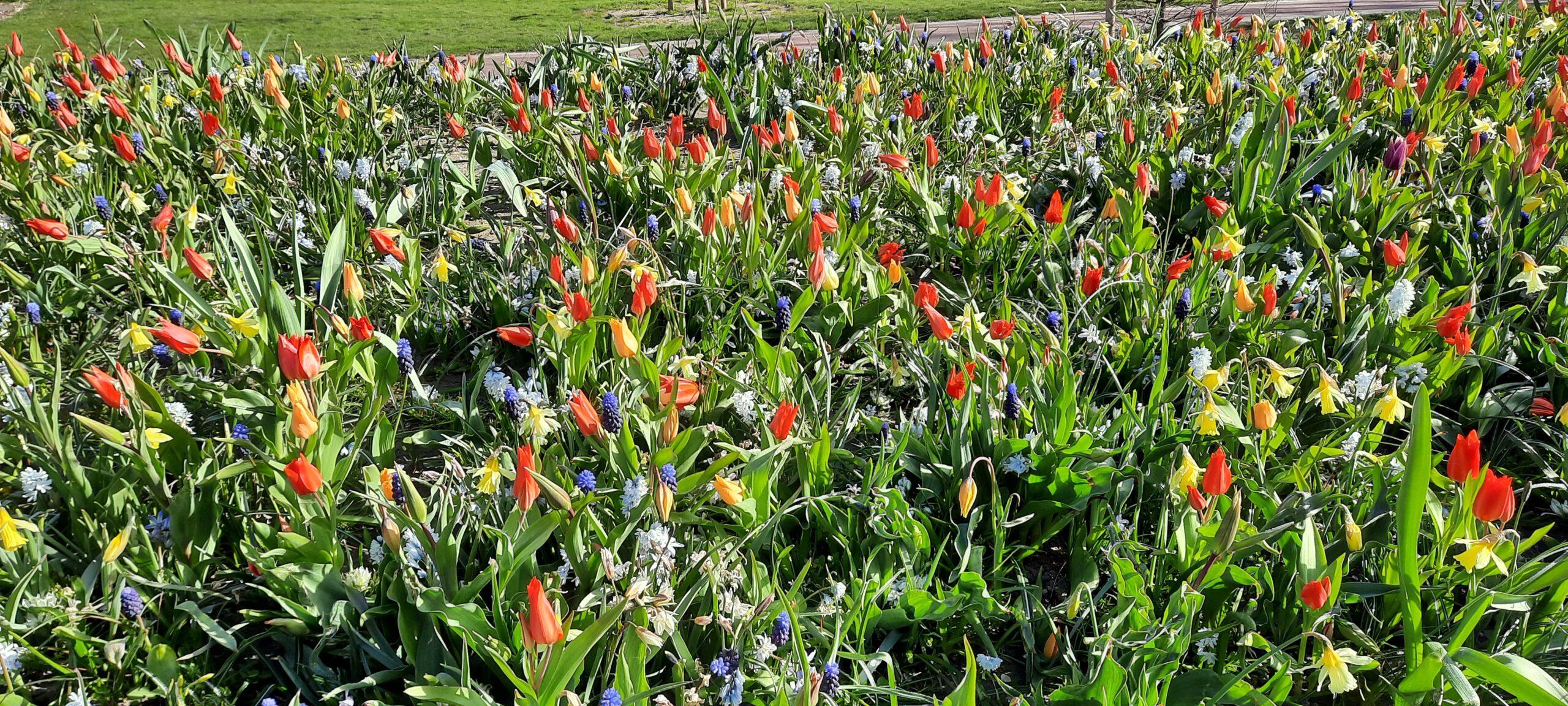 voorjaarsbloemen in Schagen