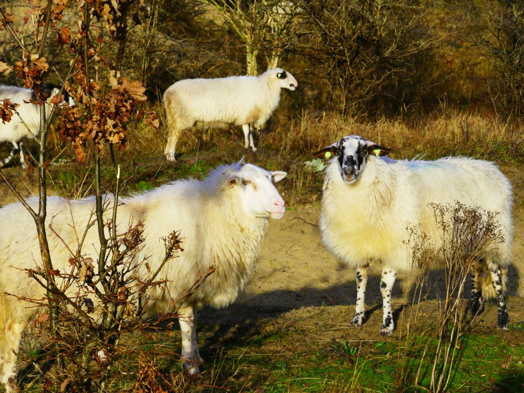 schapen Nationaal Park Zuid-Kennemerland