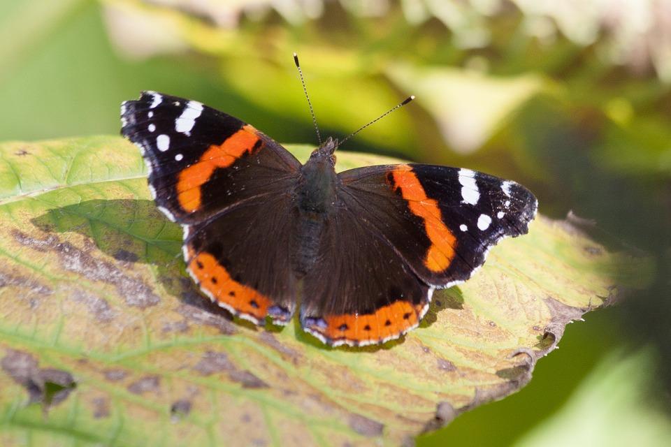 Zachte winter houdt vlinders actief