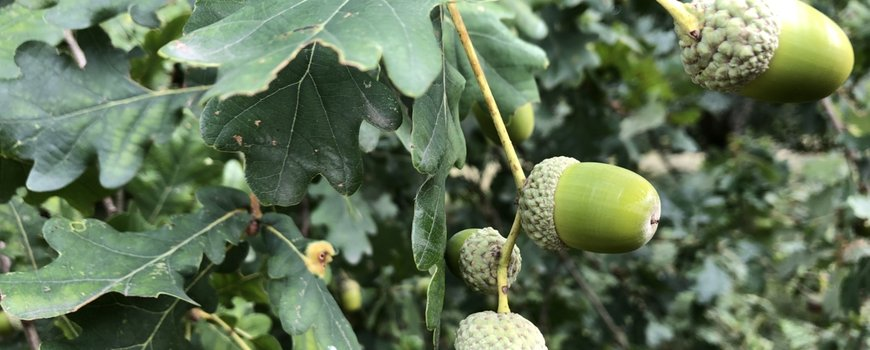 4 miljoen kilo eikels en beukennootjes; meer vruchten na warme winters en zomers