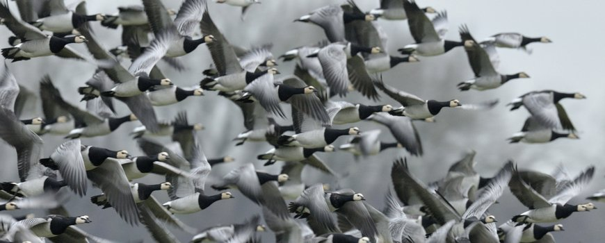 Miljoenen vogels boven Nederland