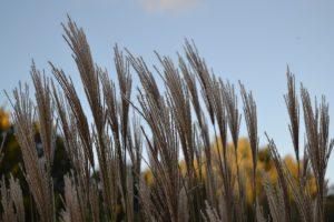 riet in de herfst