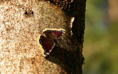 Het vlinderseizoen is nog niet voorbij
