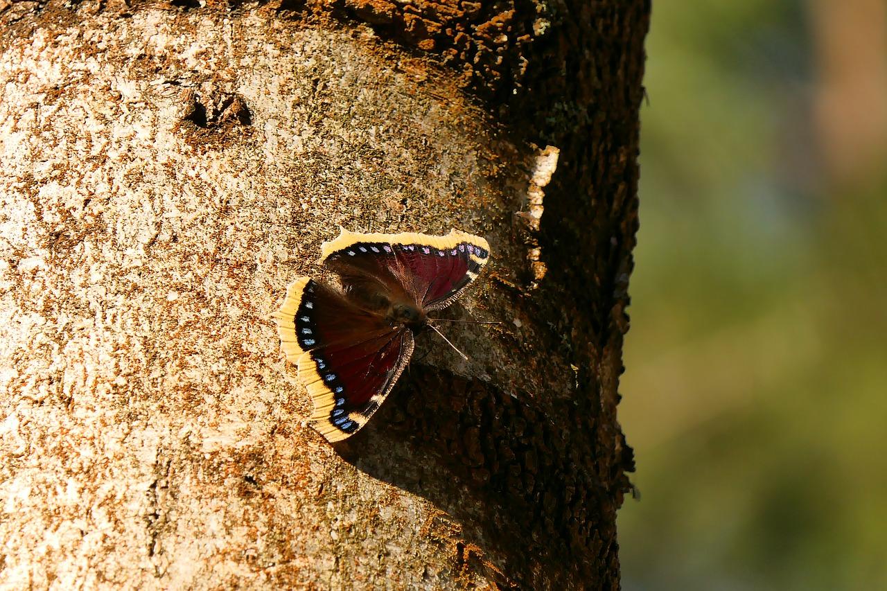 vlinder: rouwmantel